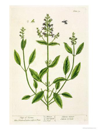 "Salviam from ""A Curious Herbal,"" 1782"