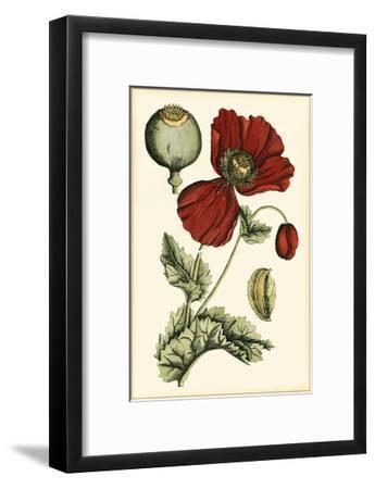 Small Poppy Blooms II