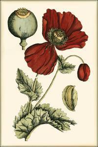 Small Poppy Blooms II by Elizabeth Blackwell
