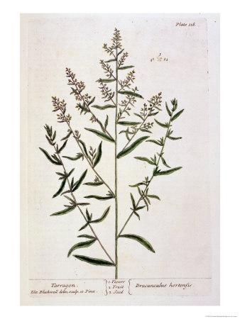 "Tarragon, Plate 116 from ""A Curious Herbal,"" Published 1782"