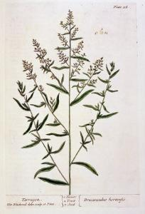 """Tarragon, Plate 116 from """"A Curious Herbal,"""" Published 1782 by Elizabeth Blackwell"""