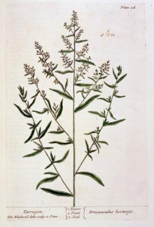 """Tarragon, Plate 116 from """"A Curious Herbal,"""" Published 1782"""