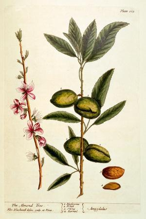 The Almond Tree, Plate 105 from 'A Curious Herbal', Published 1782