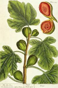 The Fig Tree, Plate 125 from 'A Curious Herbal', published 1782 by Elizabeth Blackwell