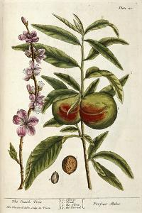 The Peach Tree by Elizabeth Blackwell