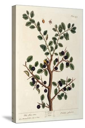 The Sloe Tree, Plate 494 from 'The Curious Herbal', Published 1782