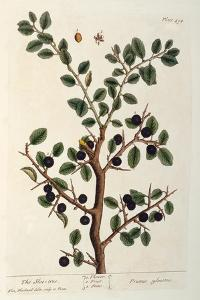 The Sloe Tree, Plate 494 from 'The Curious Herbal', Published 1782 by Elizabeth Blackwell