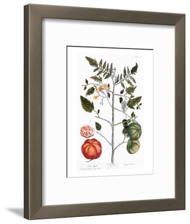 Tomato Plant, 1735