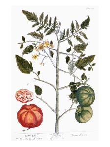 Tomato Plant, 1735 by Elizabeth Blackwell