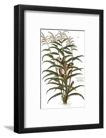 Turkish Corn, 1735