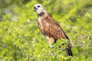 Belize, Crooked Tree Wildlife Sanctuary. Black-collared Hawk calls from a perch. by Elizabeth Boehm