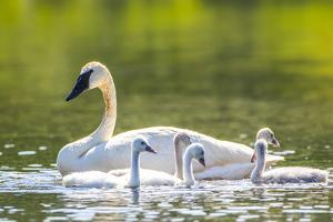 Montana, Elk Lake, a Trumpeter Swan Swims with Five of Her Cygnets by Elizabeth Boehm