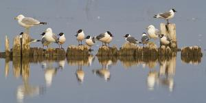 Montana, Red Rock Lakes, Franklyns Gulls and Ring Billed Gulls Roost by Elizabeth Boehm