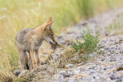 Montana, Red Rock Lakes National Wildlife Refuge, a Coyote Pup Holds a Clump of Grass in it's Mouth