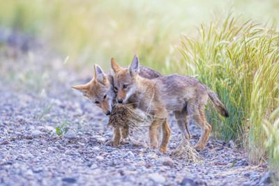 Montana, Red Rock Lakes National Wildlife Refuge, Two Coyote Pups Play with a Clump of Grass