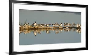 Montana, Red Rock Lakes Nwr, Franklyns Gulls and One Foresters Tern by Elizabeth Boehm