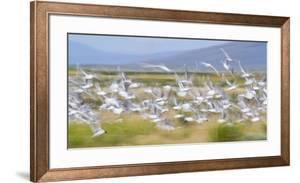 Montana, Red Rock Lakes Nwr, Franklyns Gulls Blurred in Flight by Elizabeth Boehm
