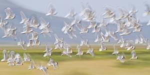 USA, Montana, Red Rock Lakes, Flock of Franklyns Gulls in Flight by Elizabeth Boehm