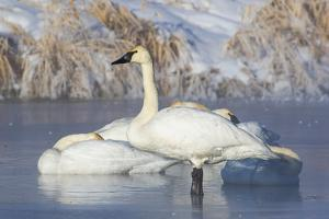 USA, Sublette County, Wyoming. group of Trumpeter Swans stands and rests on an ice-covered pond by Elizabeth Boehm