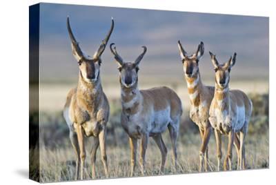 USA, Wyoming, Four Pronghorn Antelope Bucks in Spring