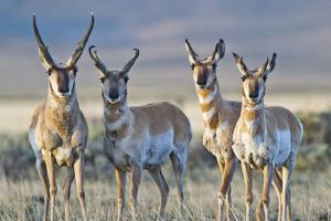 USA, Wyoming, Four Pronghorn Antelope Bucks in Spring by Elizabeth Boehm