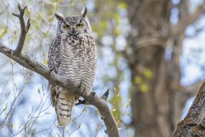 USA, Wyoming,  Great Horned Owl perches on a cottonwood tree. by Elizabeth Boehm