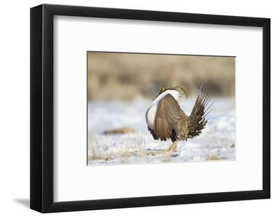 USA, Wyoming, Greater Sage Grouse Strutting on Lek in Snow