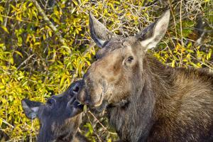 USA, Wyoming, Headshot of Cow and Calf Moose Nuzzling Each Other by Elizabeth Boehm