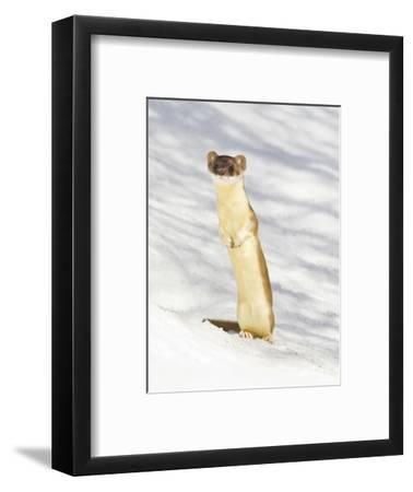 USA, Wyoming, Long Tailed Weasel Standing on Hind Legs on Snowdrift