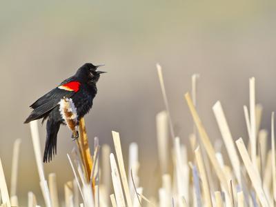 USA, Wyoming, Male Red Winged Blackbird Singing on Cattail Stalk