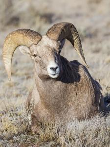 USA, Wyoming, National Elk Refuge, Bighorn sheep ram lying down on frosty grasses by Elizabeth Boehm