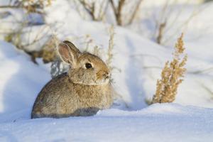 USA, Wyoming, Nuttalls Cottontail Rabbit Sitting in Snow by Elizabeth Boehm