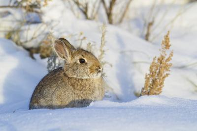 USA, Wyoming, Nuttalls Cottontail Rabbit Sitting in Snow