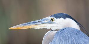 USA, Wyoming, Pinedale, Great Blue Heron portrait taken on a wetland pond. by Elizabeth Boehm