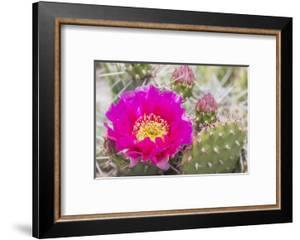 USA, Wyoming,  pink prickly pear cactus bloom in the desert. by Elizabeth Boehm