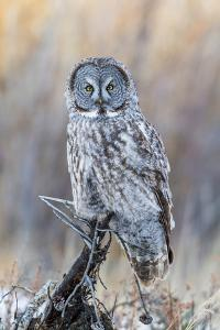 USA, Wyoming, Portrait of Great Gray Owl on Perch by Elizabeth Boehm