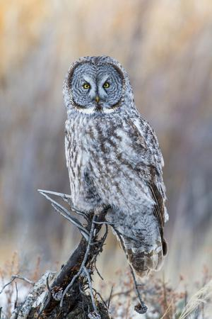 USA, Wyoming, Portrait of Great Gray Owl on Perch