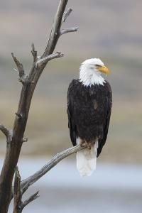 USA, Wyoming, Sublette County. Adult Bald Eagle sitting on a snag above Soda Lake. by Elizabeth Boehm