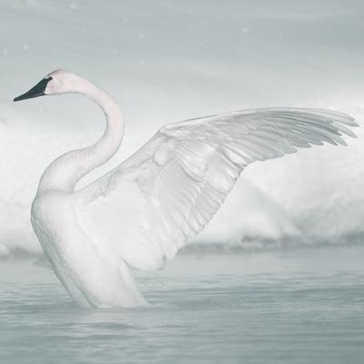 USA, Wyoming, Trumpeter Swan Stretches Wings on a Cold Winter Morning