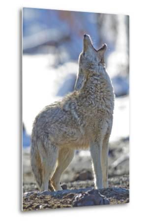 USA, Wyoming, Yellowstone National Park, Coyote Howling on Winter Morning