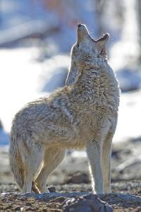 USA, Wyoming, Yellowstone National Park, Coyote Howling on Winter Morning by Elizabeth Boehm