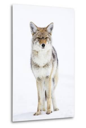 USA, Wyoming, Yellowstone National Park, Coyote in Snow