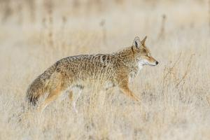 Utah, Antelope Island State Park, an Adult Coyote Wanders Through a Grassland by Elizabeth Boehm