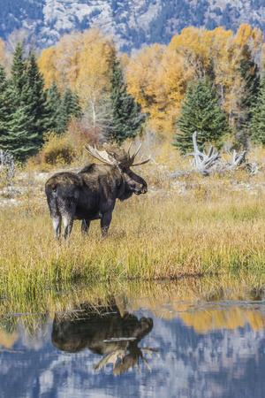 Wyoming, a Bull Moose Stands Near the Snake River at Schwabacher Landing in the Autumn
