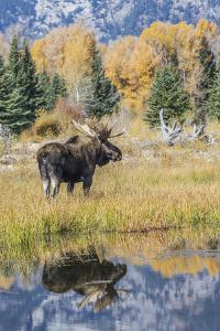 Wyoming, a Bull Moose Stands Near the Snake River at Schwabacher Landing in the Autumn by Elizabeth Boehm