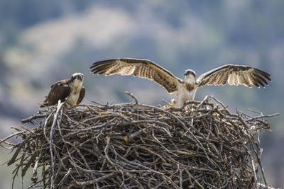Wyoming, a Young Osprey Flaps it's Wings in Preparation for Fledging as Adult Looks On