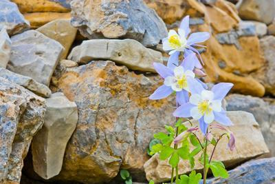 Wyoming, Grand Teton National Park, Close Up of Colorado Columbine Blooming