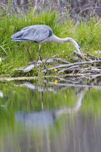 Wyoming, Grand Teton National Park, Great Blue Heron Hunting Along Shore of Pond by Elizabeth Boehm