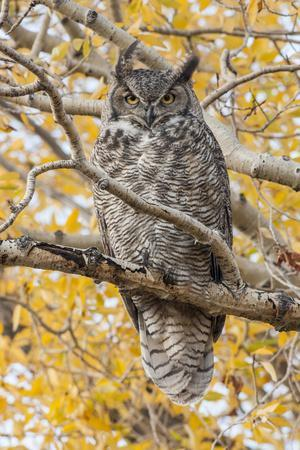 Wyoming, Great Horned Owl Roosting in Cottonwood