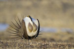 Wyoming, Greater Sage Grouse Strutting on Lek with Air Sacs Blown Up by Elizabeth Boehm